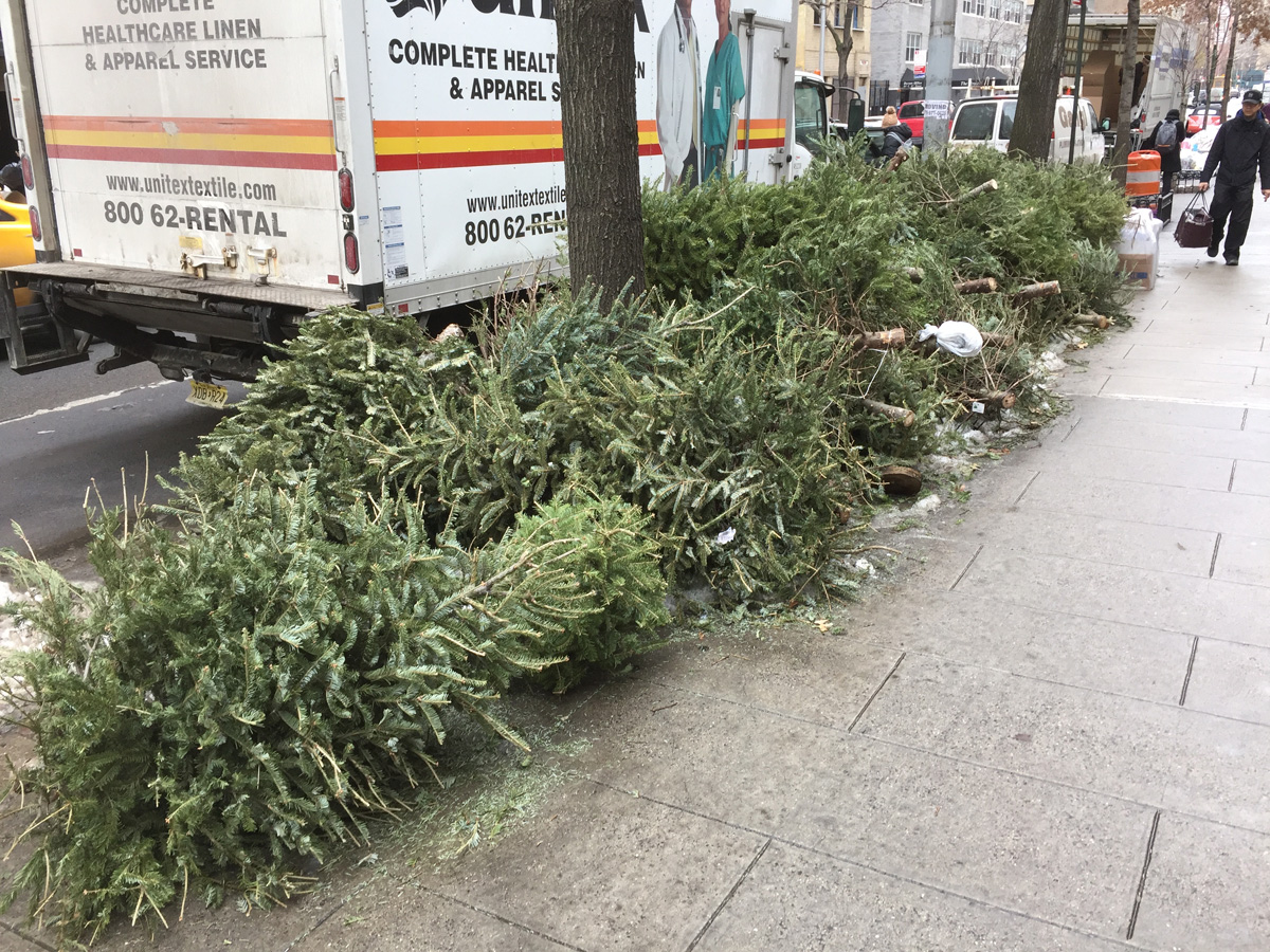 Christmas trees piled up for the trash